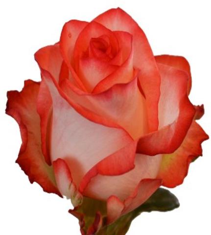 ROSA EQUA. BLUSH 50 (M25) (ROSA)