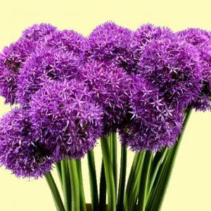 Allium Gladiator (lilás/lila)