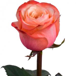 ROSA EQUA. KAHALA 50 (M25) (SALMAO)