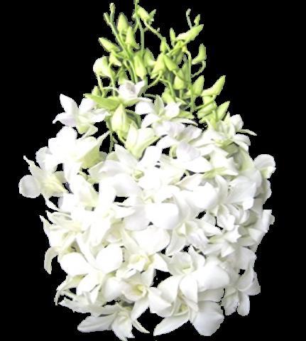 Dendrobio Branco