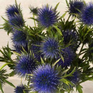 Eryngium Azul